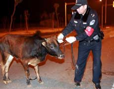 police handcuff bull