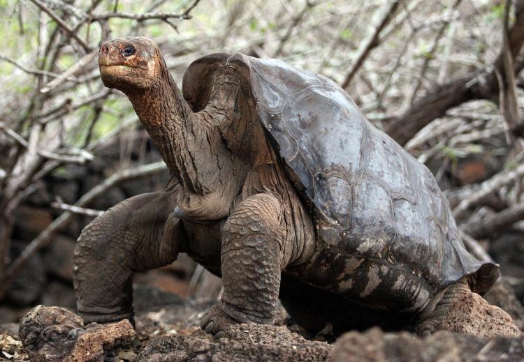 Resultado de imagem para pinta island tortoise