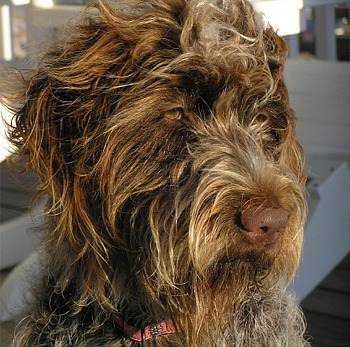 Wirehaired Pointing Griffon | Thfire.com