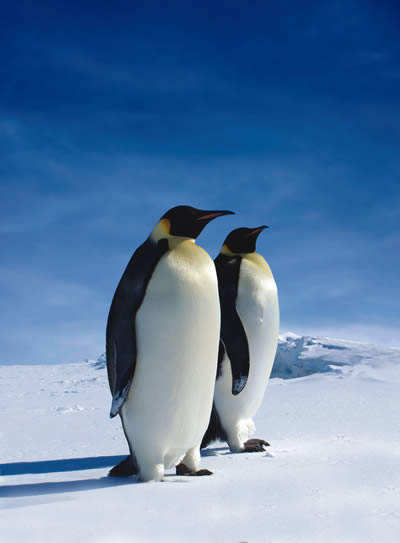 Emperor Penguins are the largest penguins today. They are 4-ft tall and weighs around 49 to 99 lb.