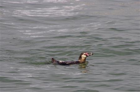 Fugitive penguin spotted
