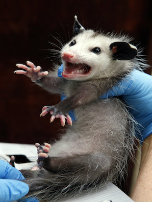 OPossum Immunity to Poison to help humans