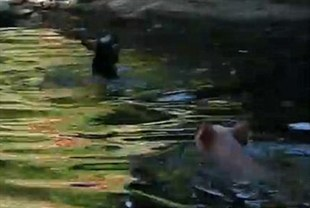 Hero pig saves baby goat from drowning (VIDEO)