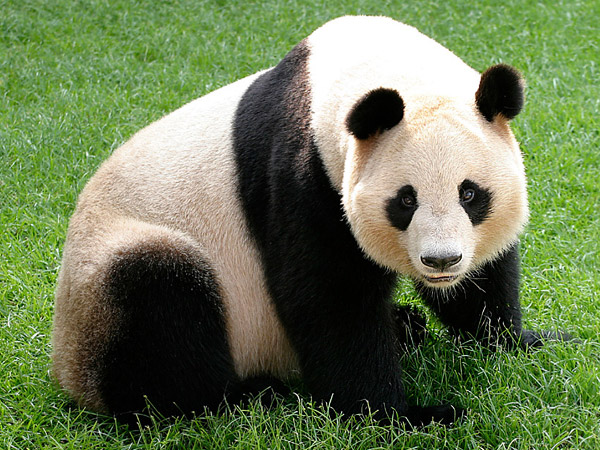 Pandas were eaten by prehistoric Chinese people, scientist says
