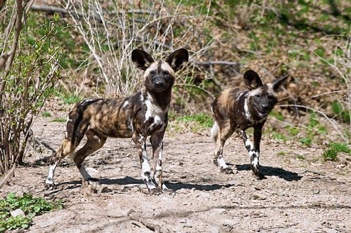 Wild dogs kill 2-year-old who fell into zoo exhibit