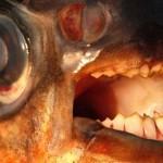 human_teeth_fish
