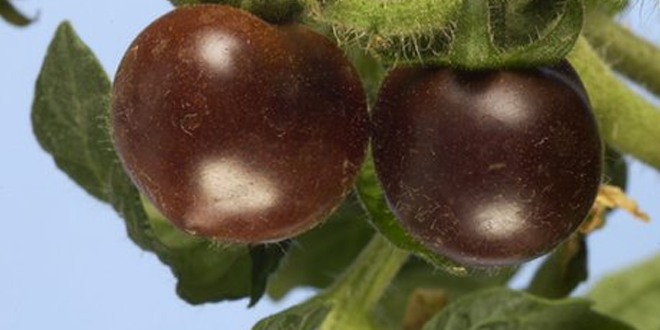 Genetically Modified Purple Colored Tomatoes are Ready for Stores