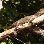 Crocodiles-Climb-Trees-Use-Tools-and-Do-Surveillance