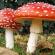 Avoid this deadliest mushroom that is spreading fast!