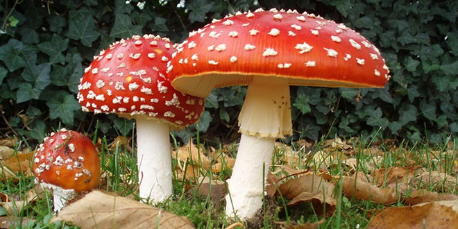 Avoid this deadliest mushroom that is spreading fast!