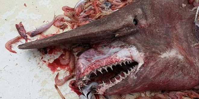Man caughts Goblin Shark in Gulf of Mexico and later released it!